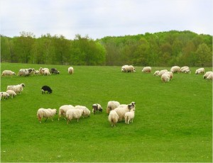 ovce bud